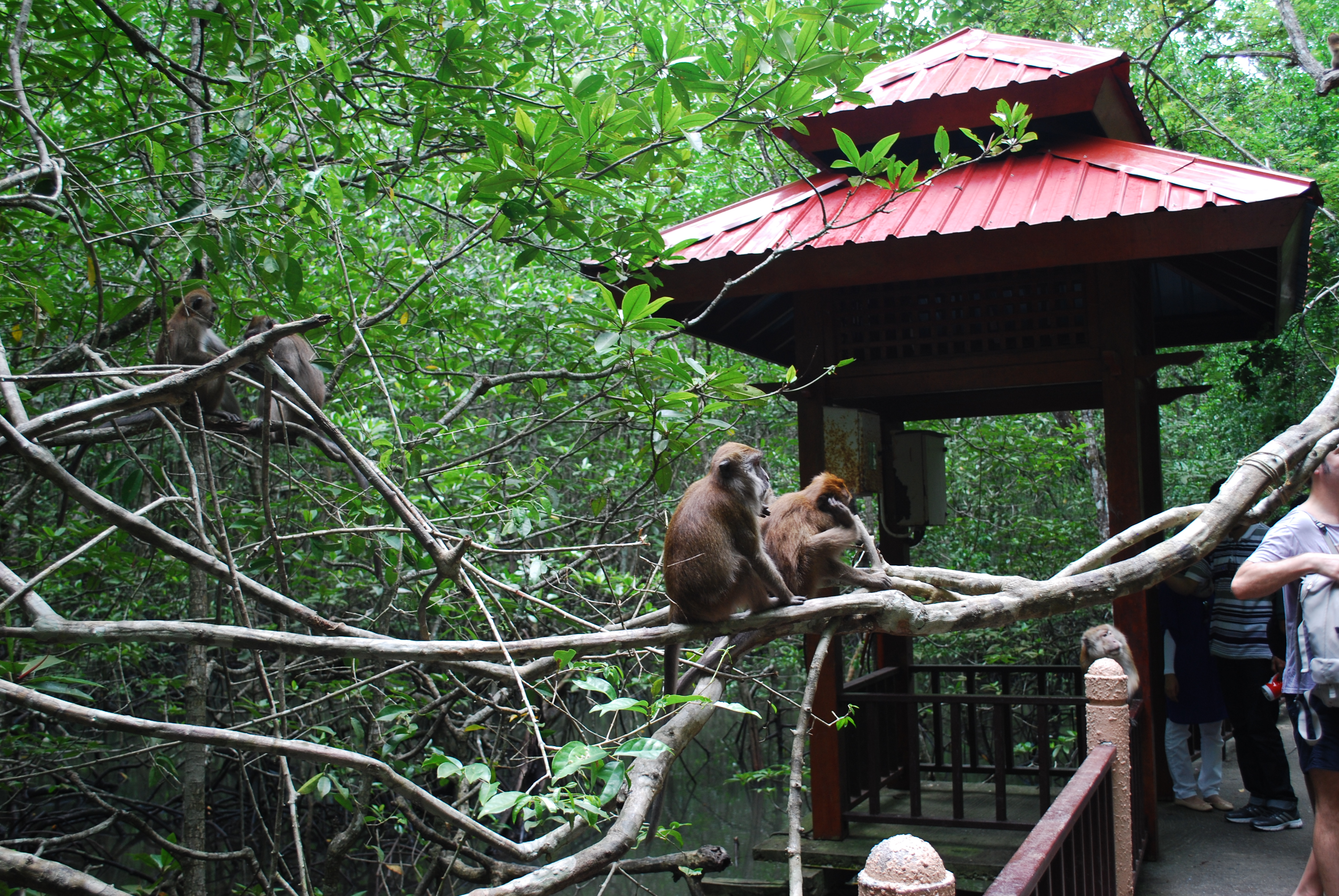 A Close Encounter with Malaysian Monkeys on Langkawi Island