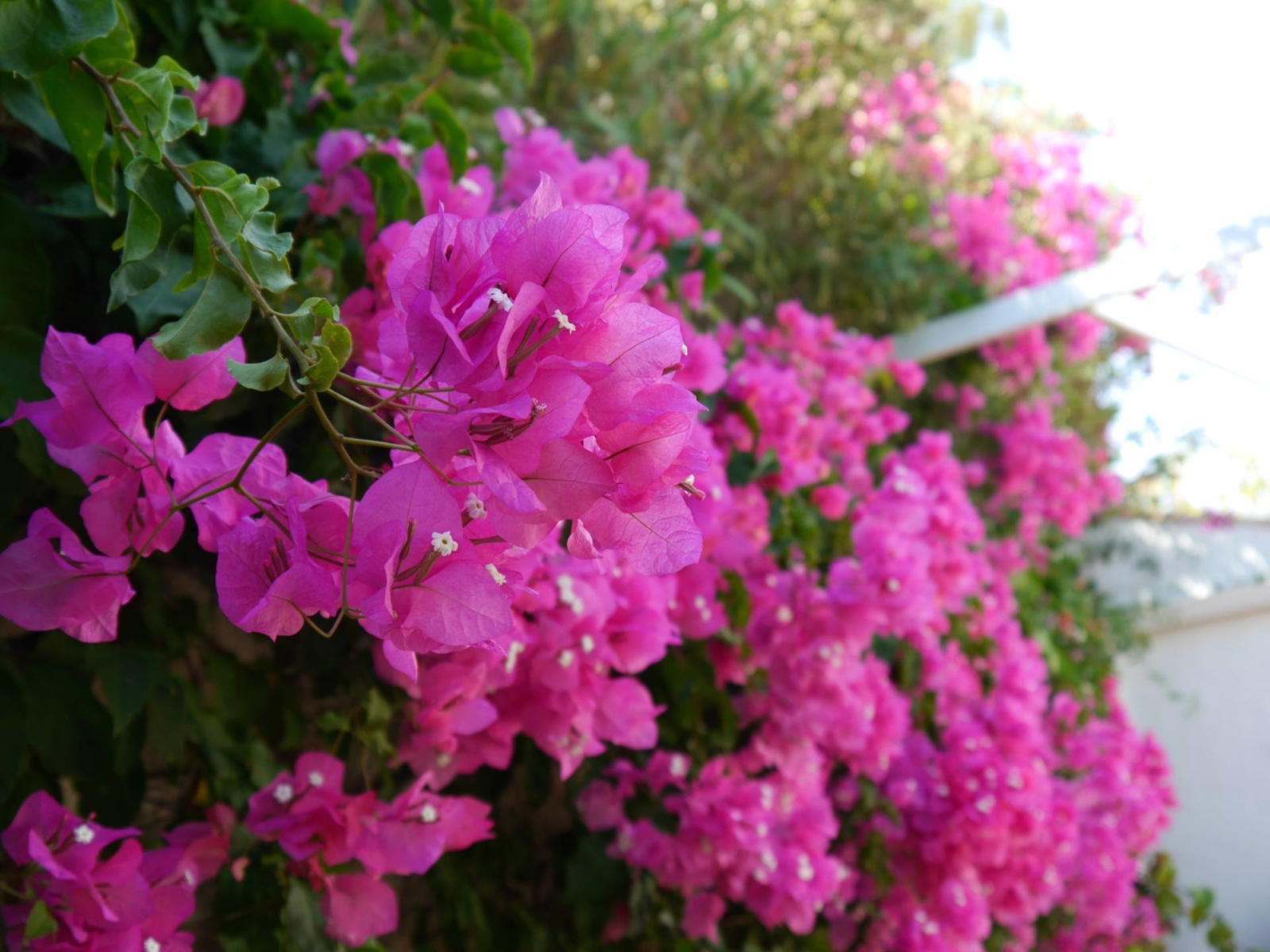 bougainvillea-almunecar-spain-