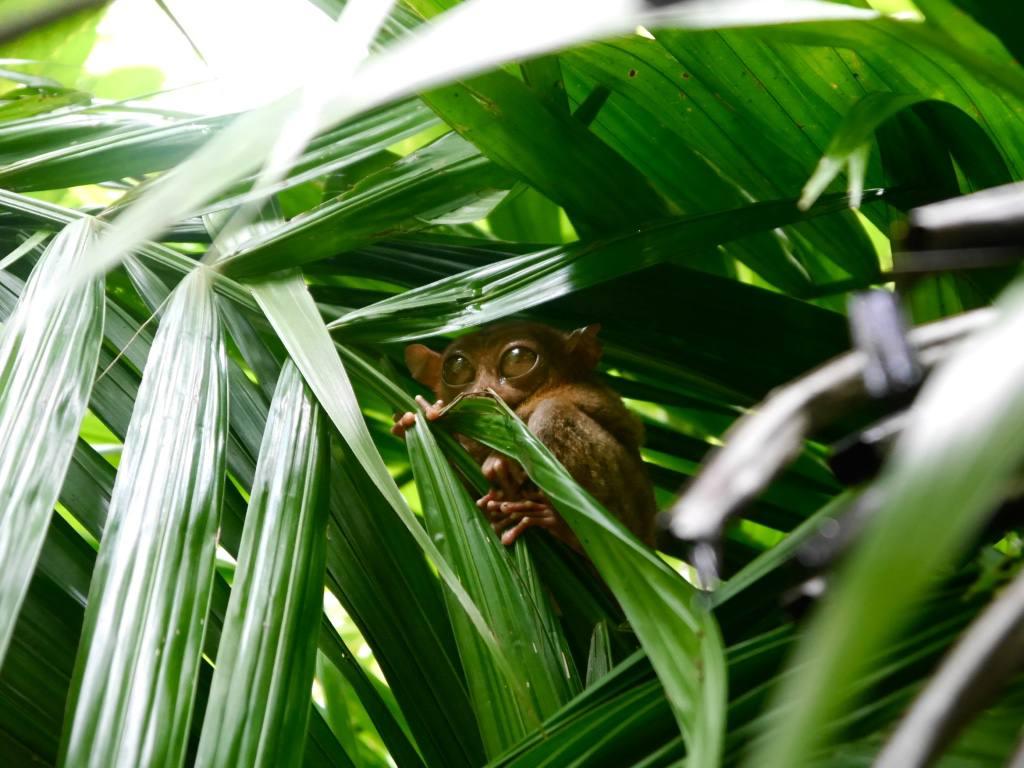 tarsier-bohol-philippines