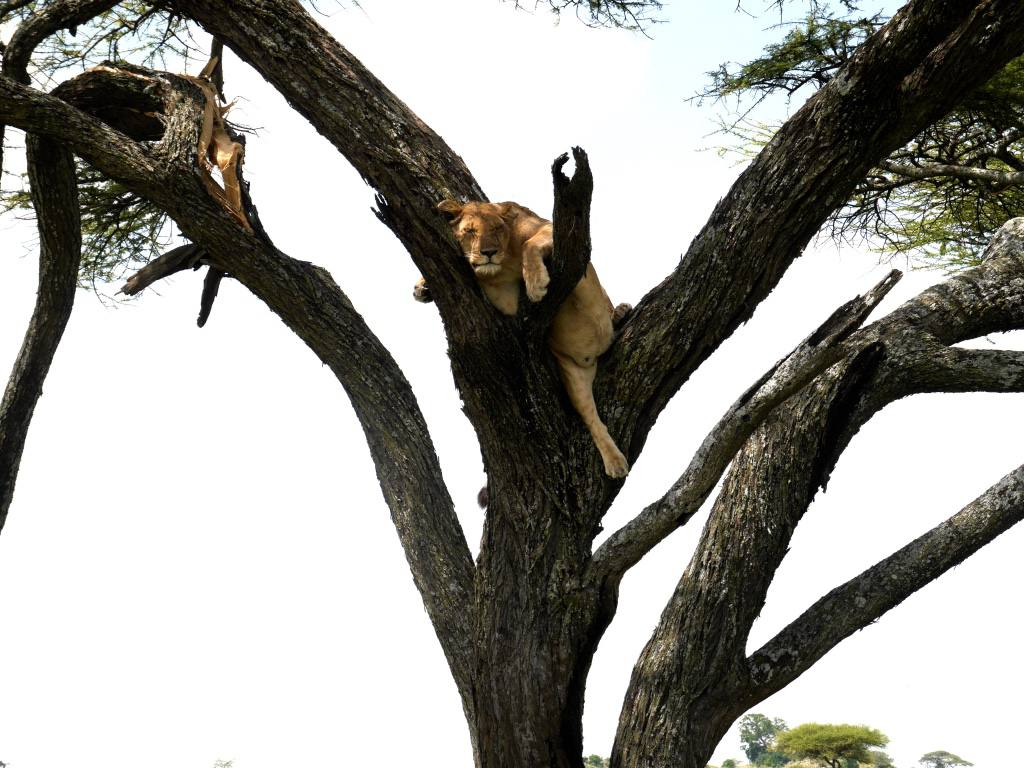 lion-in-tree-serengeti-tanzania