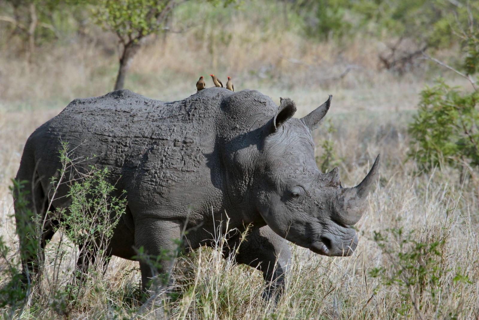 rhino-africa-safari