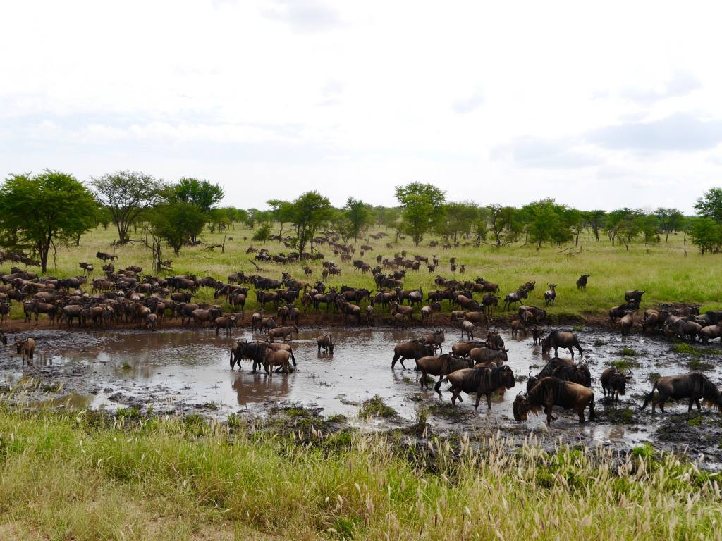 wildebeests-great-migration-tanzania-serengeti