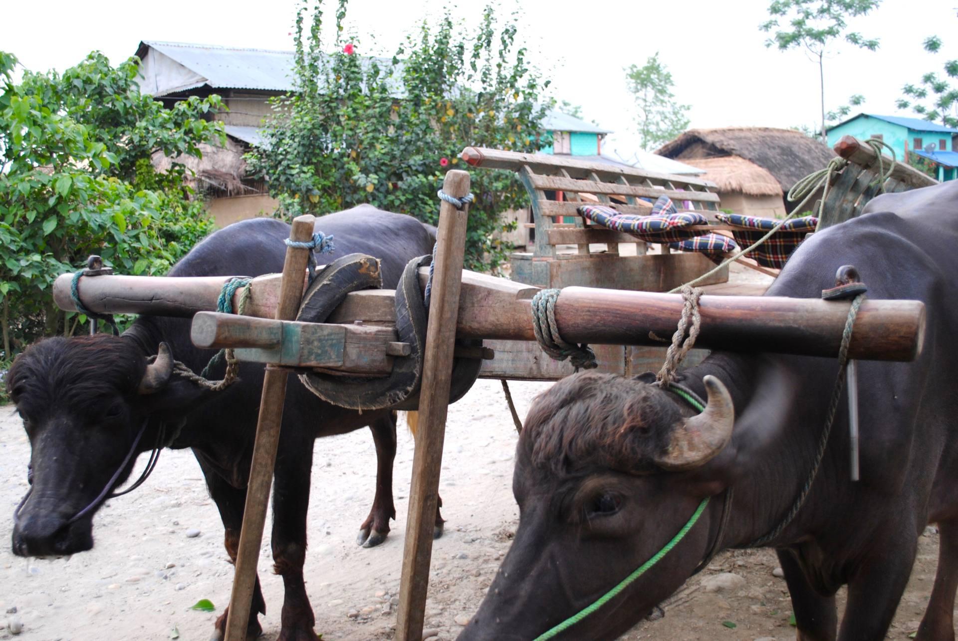 2 week Nepal Itinerary - Ox cart Chitwan