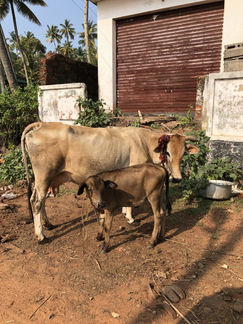 Cows in Kerala